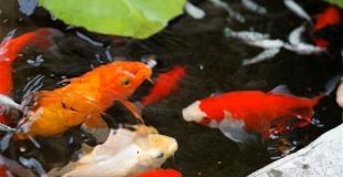 Créer un bassin pour les poissons dans son jardin